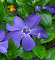 Vinca minor 'Dart's Blue'