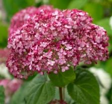 Hydrangea arborescens SWEET ANNABELLE® NCHA4'