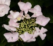 Hydrangea macrophylla Hovaria Series 'Hobella'