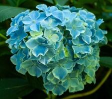 Hydrangea macrophylla Lady Series 'Frau Fujiyo'