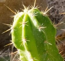 Echinocereus chihualensis