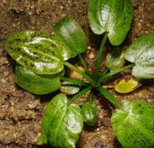 Echinodorus cordifolius subsp. cordifolius typ schlueteri 'Leopard'