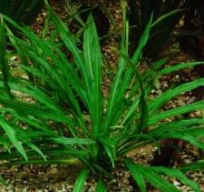Echinodorus grisebachii Small typ parviflorus