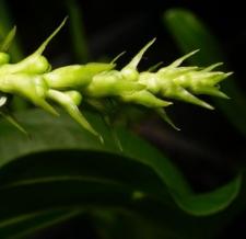 Echinodorus macrophyllus (Kunth) Micheli subsp. macrophyllus