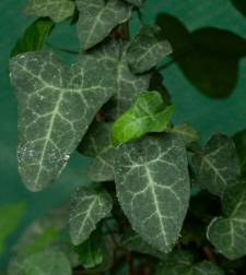 Hedera helix L. fo. poetarum (Nicotra) McAll. et A. Rutherf.
