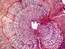 Dwarf shrub Salix polaris
