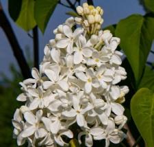 Syringa vulgaris 'Jan van Tol'