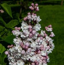 Syringa vulgaris 'Krasawica Moskwy'