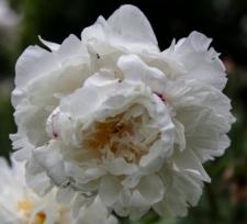 Paeonia lactiflora 'Boule de Neige'