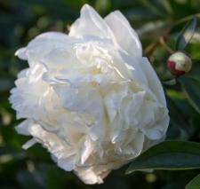 Paeonia lactiflora 'Lillian Wild'
