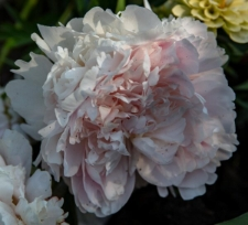 Paeonia lactiflora 'Minuet'