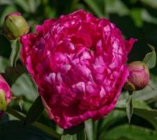 Paeonia lactiflora 'Mme Barillet Deschamps'