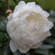 Paeonia lactiflora 'Mme Crousse'