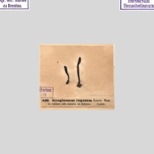 Geoglossum rugosum
