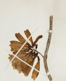 Tecomanthe dendrophila (Blume) K.Schum.