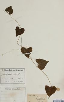 Melothria indica Lour.