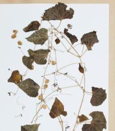 Melothria longipedunculata Cogn.