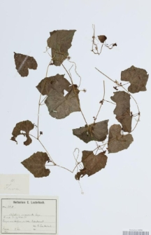 Melothria mucronata Cogn.