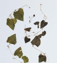 Melothria punctata (Thunb.) Cogn.