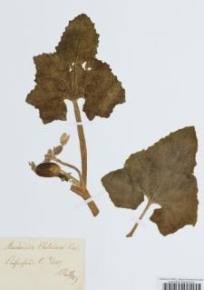 Momordica elaterium L.