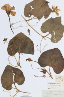 Lagenaria vulgaris Ser.