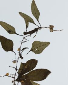 Cayaponia americana Cogn.