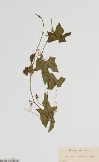 Cucurbita exanthematica Fenzl ex A.Rich.