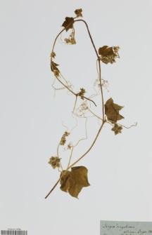 Sicyos angulatus L.