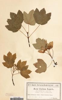 Acer italum Lauth subsp. variabile Pax var. opalus Pax