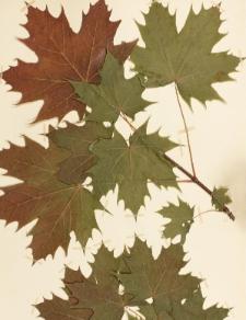 Acer platanoides L. subv. rufum Schwerin f. globosum Nich.