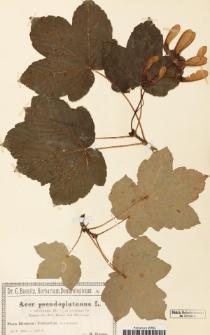 Acer pseudoplatanus L. var. subobtusum DC.