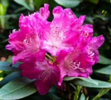 Rhododendron 'Annedore'