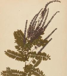 Amorpha canescens Pursh