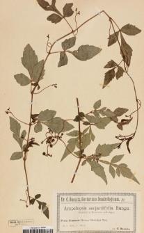 Ampelopsis serjaniifolia Bunge