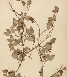 Arduina bispinosa L.