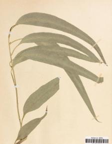 Eucalyptus globulus Labill.