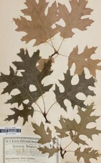 Quercus benderi var. coccinoides Baen.