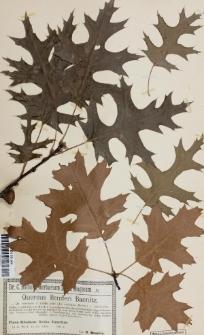 Quercus benderi var. rubrioides Baen.