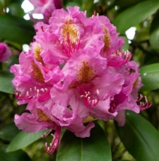 Rhododendron 'August'