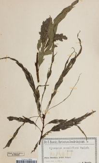 Quercus sessiliflora laciniata Koehne