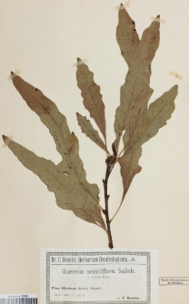 Quercus sessiliflora Salisb. var. louetti Hort.