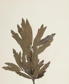 Quercus vertesiensis Kit.
