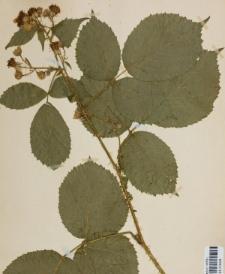 Rubus schummelii Weihe