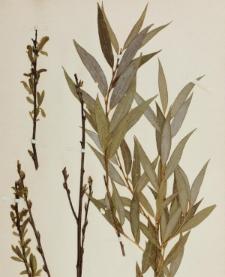 Salix alba f. britzensis Späth