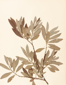 Salix aurita x silesiaca Wim. f. angustifolia Wim.
