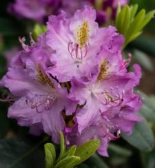Rhododendron 'Botha'