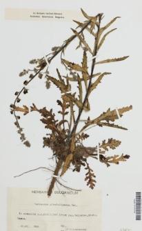 Verbascum glanduligerum Velen.