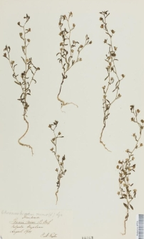 Linaria minor (L.) Desf.