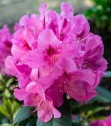 Rhododendron 'Cornelia Schröder'