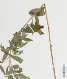 Mentha longifolia (L.) Huds.